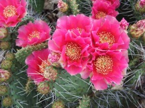 Prickly Pear Cactus in bloom.  Image Credit: www.bhg.com